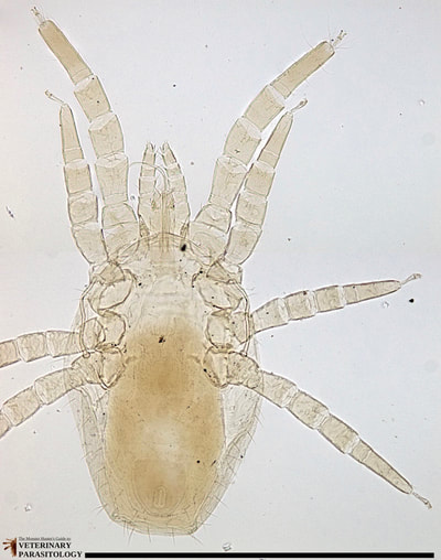 Dermanyssus sp. mite (ex., red chicken mite)