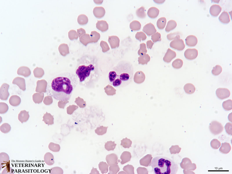 Stain precipitant artifact in a blood smear.