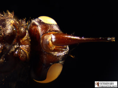 Stomoxys calcitrans (ex., stable fly, barn fly, biting house fly, dog fly, or power mower fly)