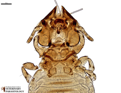 Felicola subrostratus (aka., cat louse) from cat