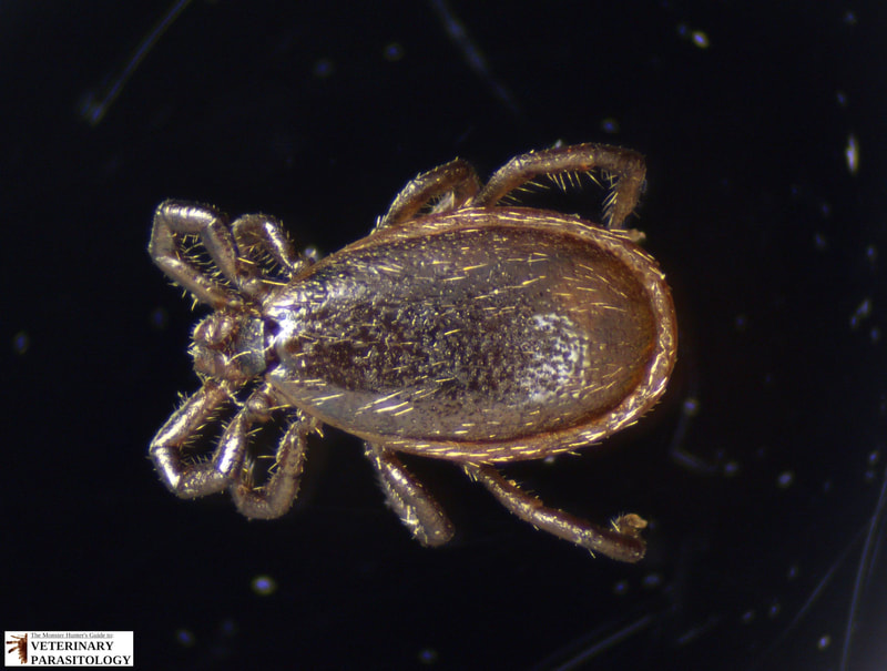 Ixodes scapularis male