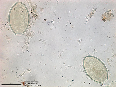 Oxyuris sp. (pinworm) eggs, fecal float