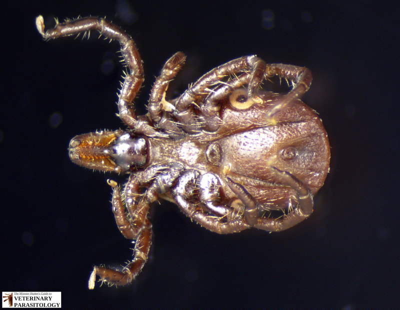 Ixodes scapularis female