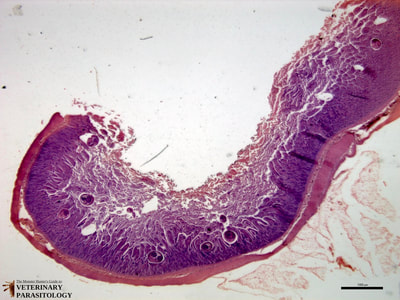 Nanophyetus sp. adult in small intestine