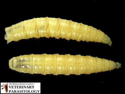 Cochliomyia hominivorax (aka., New World screw-worm fly) larva