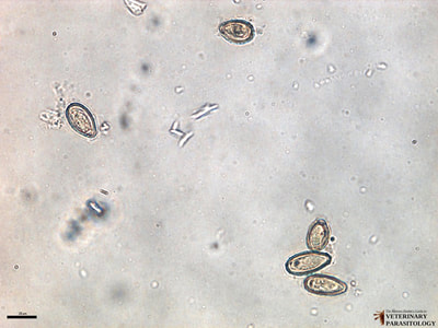 Clonorchis sinensis eggs, fecal float
