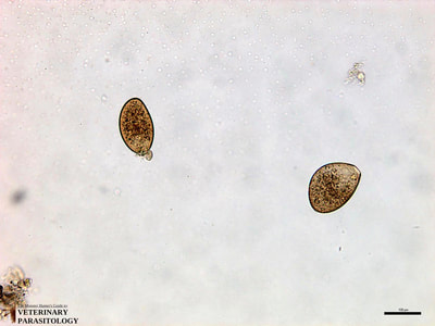 Fasciola hepatica eggs, fecal float