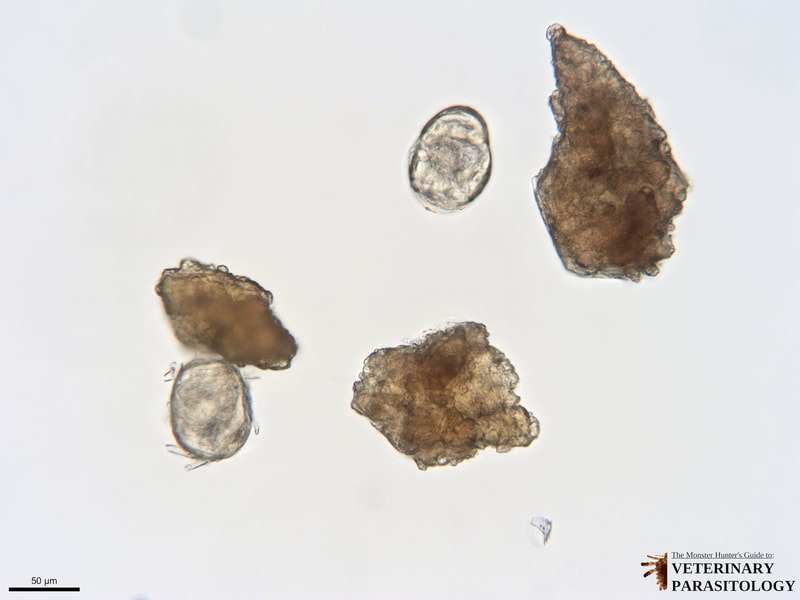 Heterobilharzia americana eggs recovered from canine feces on fecal sedimentation.